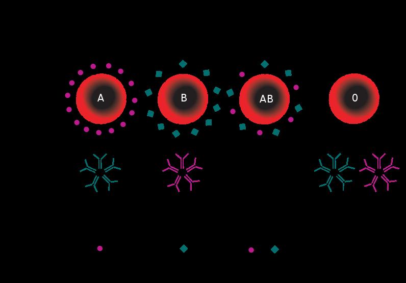 gruppo-sanguigno-schema